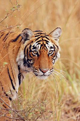 Royal Bengal Tiger Watching Print by Jagdeep Rajput