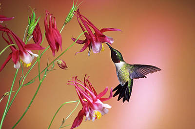 Aquilegia Photograph - Ruby-throated Hummingbird (archilochus by Richard and Susan Day
