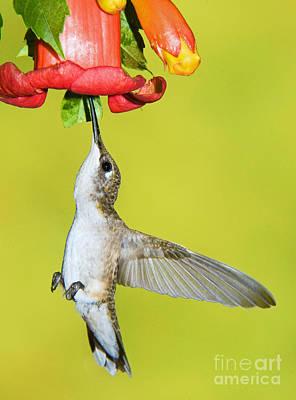 Photograph - Ruby-throated Hummingbird Female by Millard H Sharp