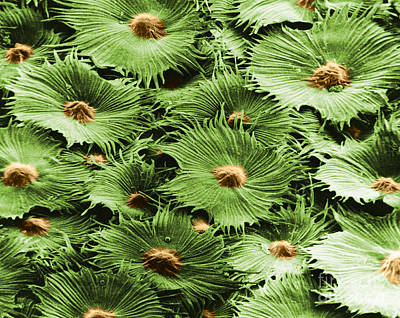 Russian Silverberry Leaf Sem Art Print by Asa Thoresen
