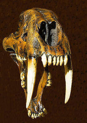 Photograph - Saber Tooth Cat Skull Fossil by Millard H. Sharp