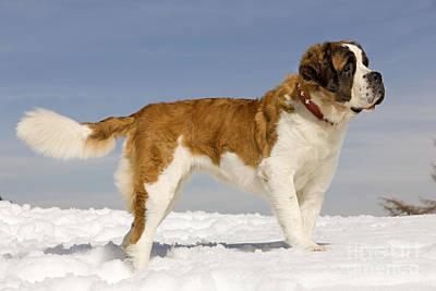 Dogs In Snow Photograph - Saint Bernard by Jean-Michel Labat