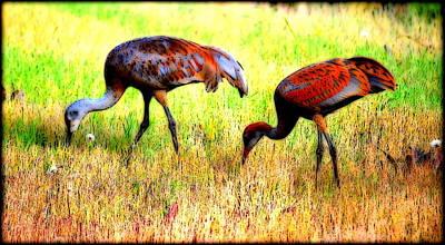 Photograph - Sandhill Cranes by Kathy Sampson