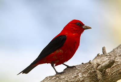 Photograph - Scarlet Tanager by Doug Lloyd