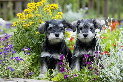 Miniature Schnauzer Photograph - Schnauzer Puppy Dogs by John Daniels