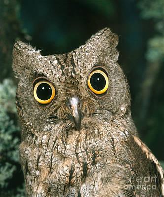 Photograph - Scops Owl by Hans Reinhard