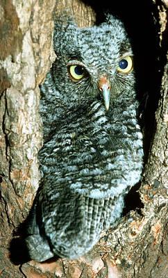 Photograph - Screech Owl Chick by Millard H. Sharp