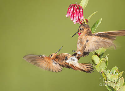 Shining Sunbeam Hummingbirds Art Print by Dan Suzio