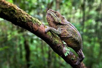 Short-horned Chameleon Art Print