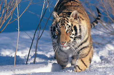 Photograph - Siberian Tiger by Alan Carey