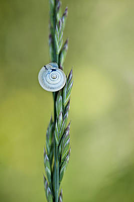 Helix Photograph - Snail On Grass by Nailia Schwarz