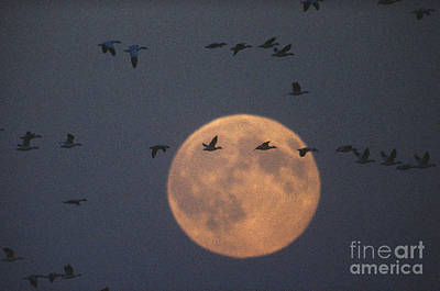 Birds In Flight At Night Photograph - Snow Geese by James L. Amos
