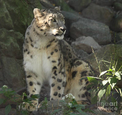 Photograph - Snow Leopard On The Prowl by John Telfer
