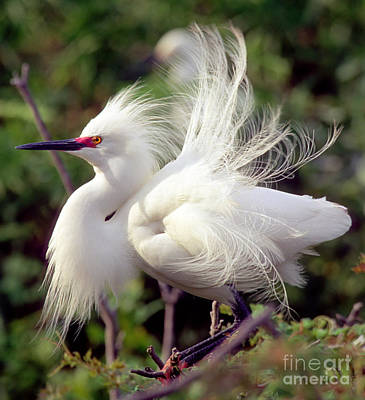 Snowy Egret Art Print by Millard H. Sharp