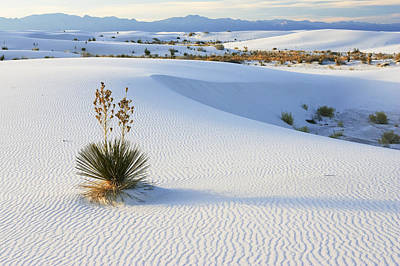 Soaptree Yucca In Gypsum Sand White Art Print