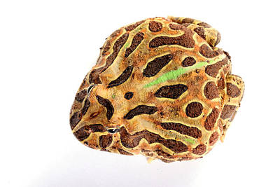 Pacman Wall Art - Photograph - South American Horned Frog by David Kenny
