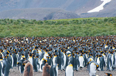 King Penguin Photograph - South Georgia Salisbury Plain King by Inger Hogstrom