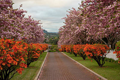 Cherry Blossoms Road Photograph - South Pacific, New Zealand, North Island by Jaynes Gallery