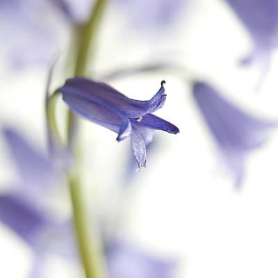 Zen-like Photograph - Spring Bluebells by Carol Leigh