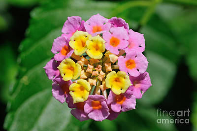Photograph - Lantana Camara Flower by George Atsametakis