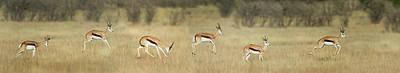 Springbok Antidorcas Marsupialis Art Print by Panoramic Images