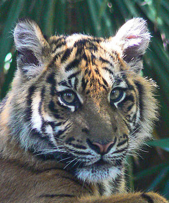 Photograph - Sumatran Tiger Cub by Margaret Saheed