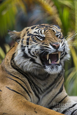 Mp Photograph - Sumatran Tiger by San Diego Zoo