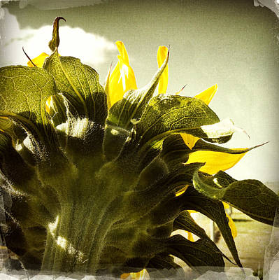 Sunflower Print by Les Cunliffe