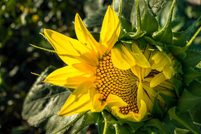 Photograph - Struggling Sunflower by Melinda Ledsome