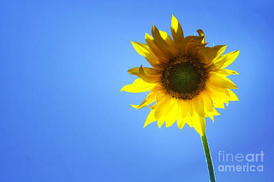 Sunflower Photograph - Sunflower by Michal Bednarek