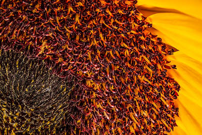 Photograph - Sunflower by Ron Pate