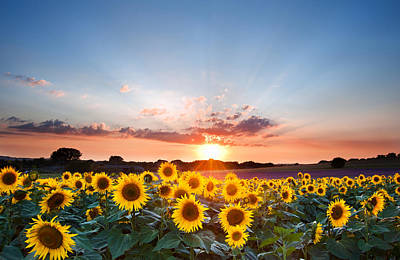 Harvest Photograph - Sunflower Summer Sunset Landscape With Blue Skies by Matthew Gibson