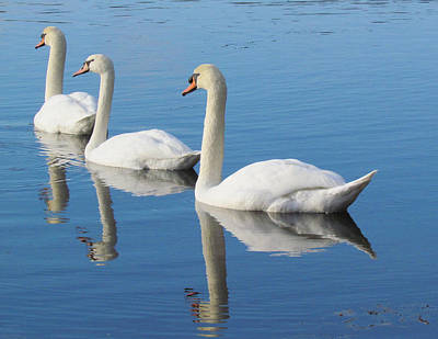 3 Swans A-swimming Art Print