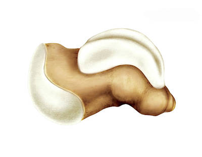 Talus Bone Print by Asklepios Medical Atlas