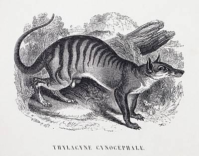 Tasmanian Wolf Art Print by Paul D Stewart