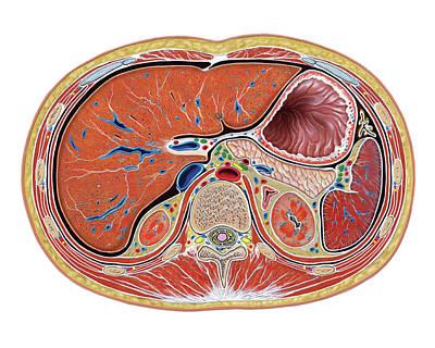 The Abdomen Art Print by Asklepios Medical Atlas