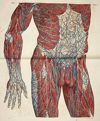 The Circulatory System Art Print by British Library