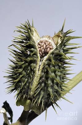Jimson Photograph - Thorn Apple Datura Stramonium Seed Pod by Georgette Douwma