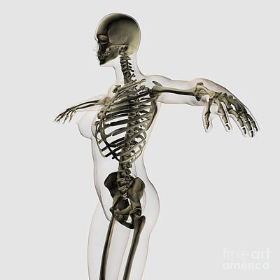 Human Skeleton Digital Art - Three Dimensional View Of Female by Stocktrek Images
