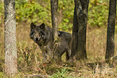 Timber Wolf Photograph - Timber Wolf Pictures by Michael Cummings