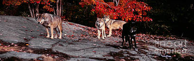 Timber Wolves Under A Red Maple Tree - Pano Art Print by Les Palenik