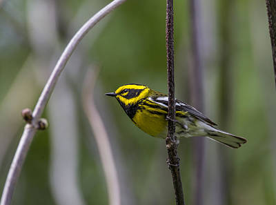 Photograph - Townsends Warbler by Doug Lloyd