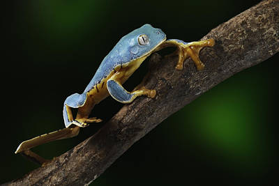Panama Frog Photograph - Tree Frog Climbing by Dirk Ercken