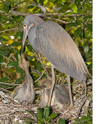 Photograph - Tricolored Heron Feeding Young In Nest by Millard H. Sharp