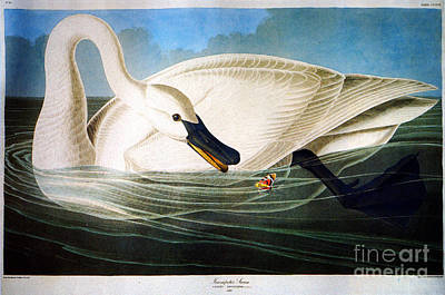 Herons Drawing - Trumpeter Swan by Celestial Images