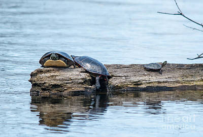 Photograph - 3 Turtles by Cheryl Baxter