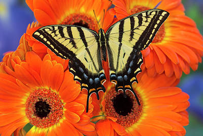 Gerber Daisy Photograph - Two-tailed Swallowtail Butterfly by Darrell Gulin