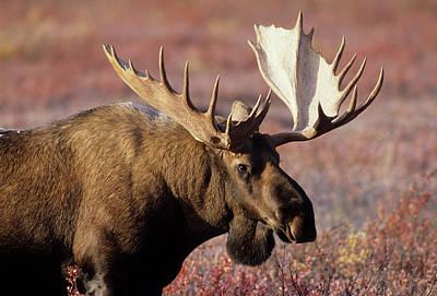 Reynolds Photograph - Usa, Alaska, Bull Moose, Denali by Gerry Reynolds