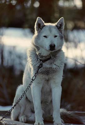 Usa, Alaska, Sled Dogs, Dog Sledding Art Print by Gerry Reynolds