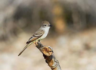 Flycatcher Photograph - Usa, Arizona, Buckeye by Jaynes Gallery